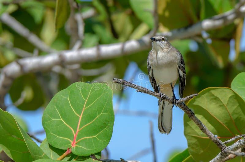 Northern mockingbird or mimus polyglottos stock images