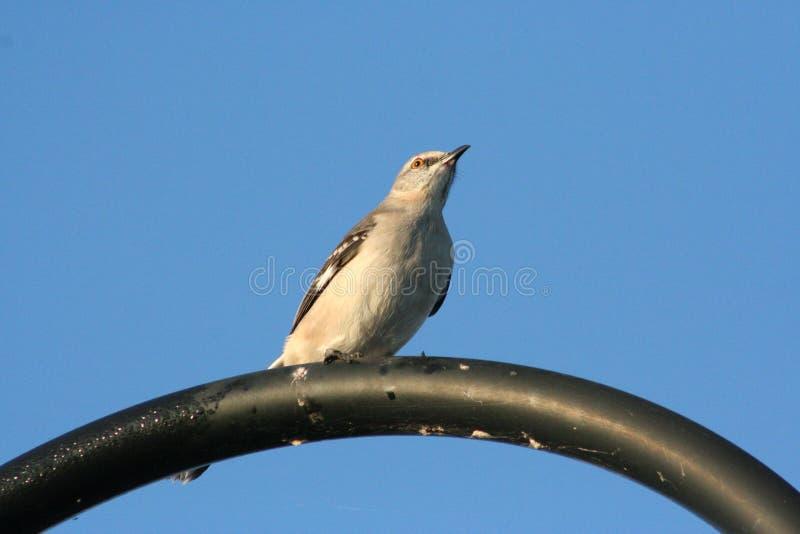 Northern Mockingbird Mimus polyglottos royalty free stock images