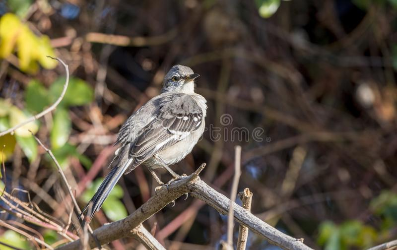 Northern Mockingbird Mimus polyglottos Perched in a Tree in Mexico stock photos