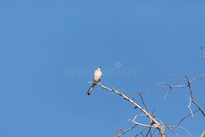 Northern Mockingbird Mimus polyglottos stock photo