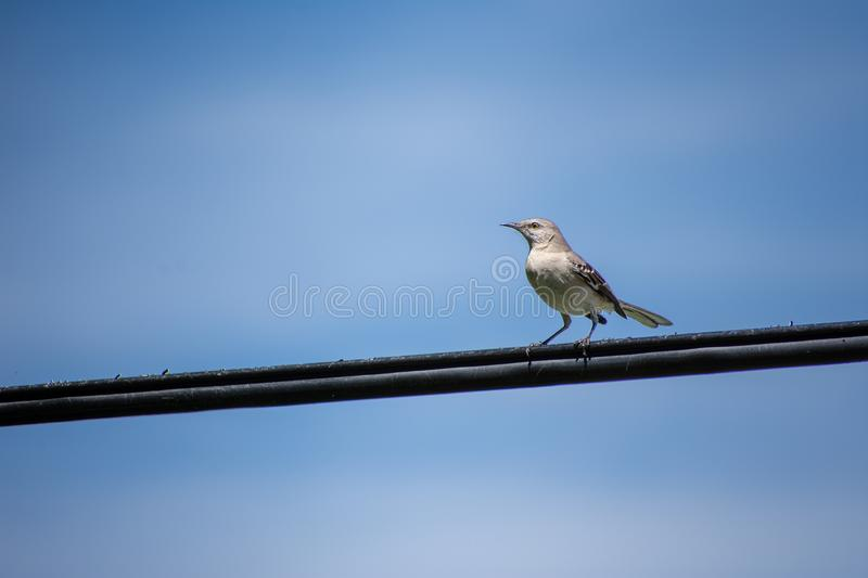 Northern Mockingbird Mimus polyglottos on wire royalty free stock images