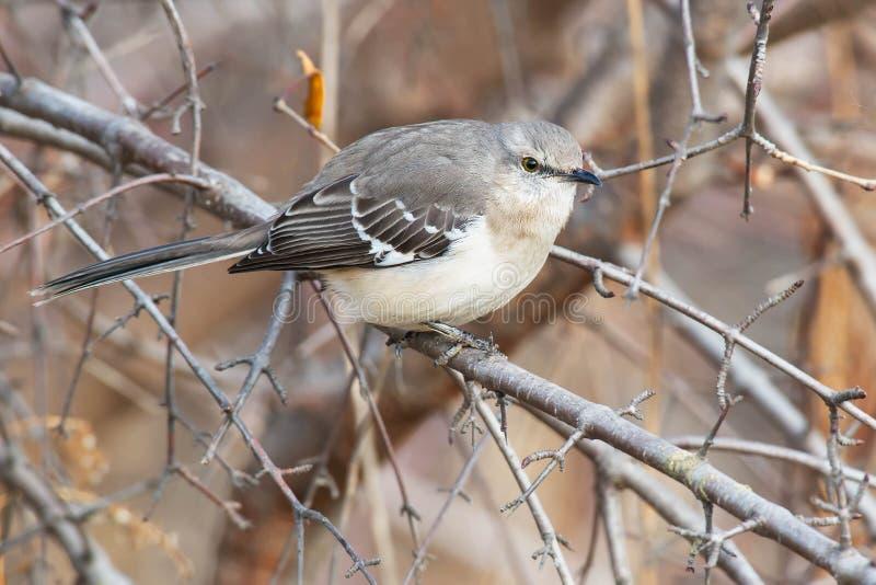 Northern Mockingbird royalty free stock photo
