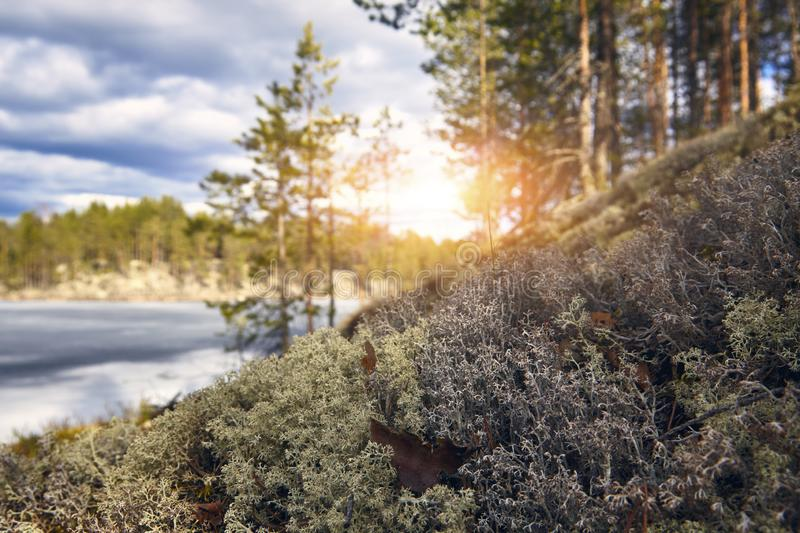 Northern moss close-up against the background of the forest of the lake sky and the rising sun.  stock photos