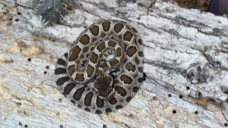 Northern Pacific Rattlesnake Crotalus oreganus overhead royalty free stock photography