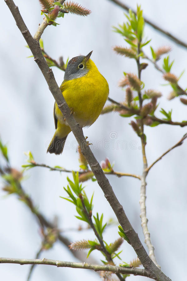 Northern Parula. Perched on a branch royalty free stock images
