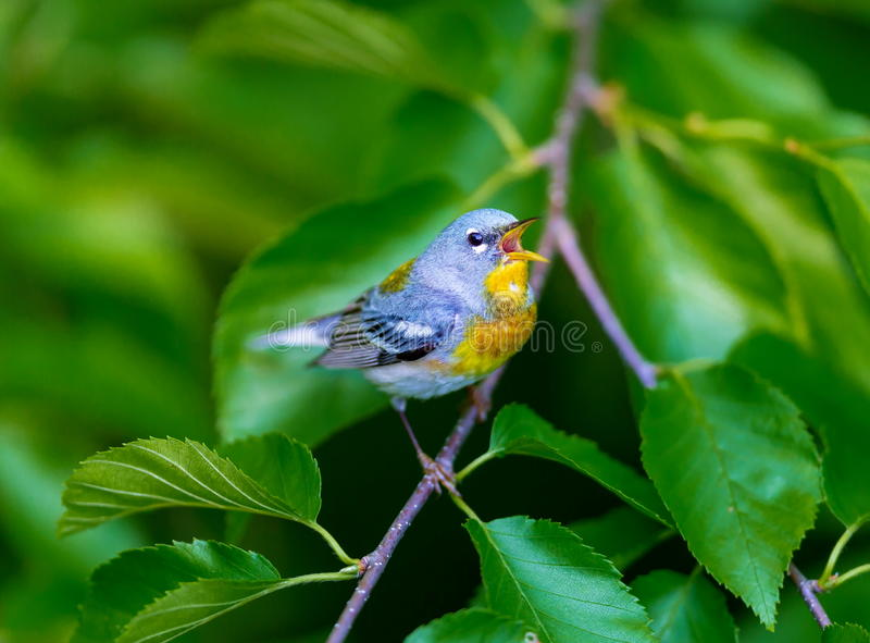 Northern Parula. A small warbler of the upper canopy, the Northern Parula can be found in boreal forests of Quebec. It nests in Canada in June and July and stock images