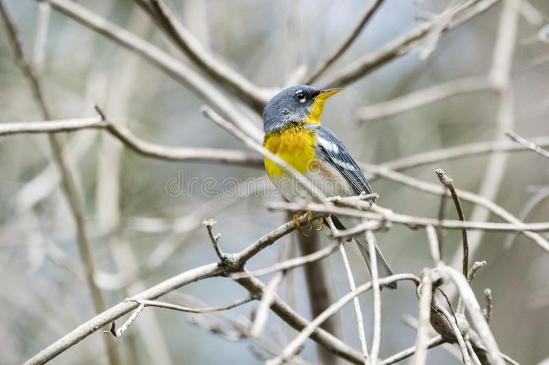 Northern Parula songbird in Okefenokee Swamp Georgia stock photography