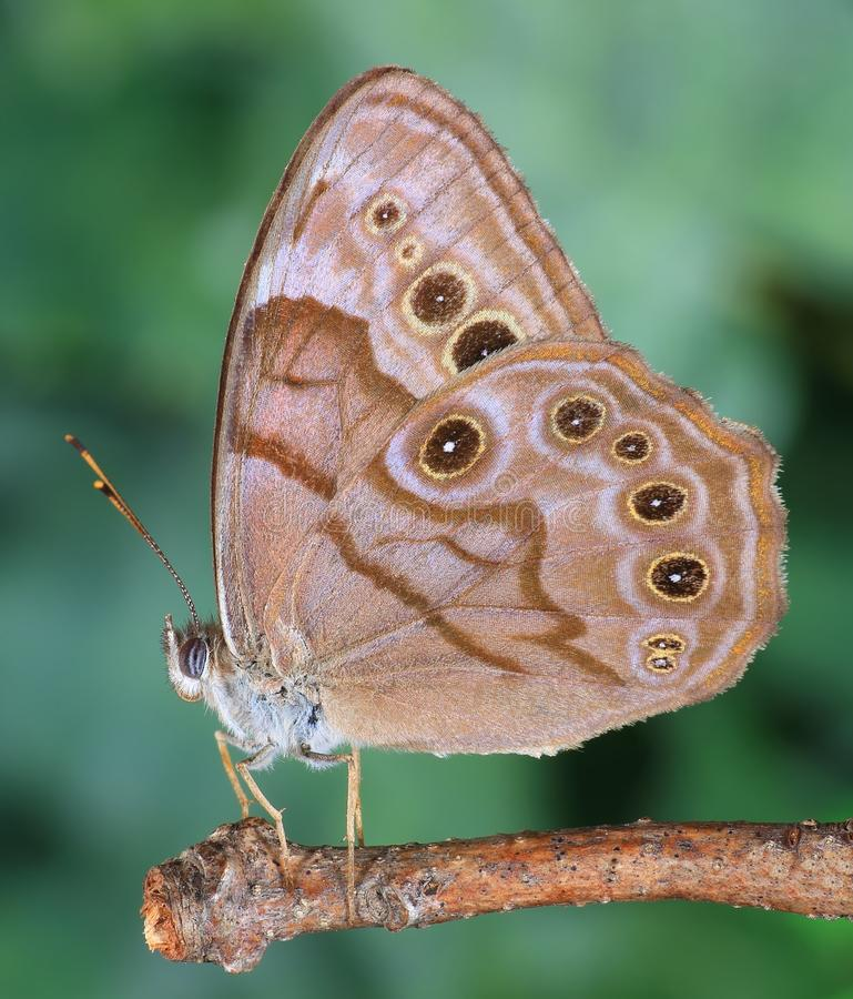 Northern Pearly- eye Butterfly stock image