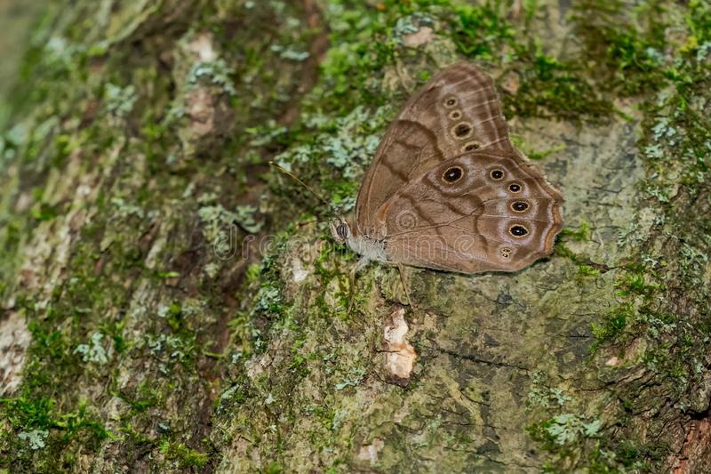 Northern Pearly-Eye Butterfly - Lethe anthedon. A Northern Pearly-eye Butterfly is perched on a moss covered tree trunk. Rouge National Urban Park, Toronto stock photos