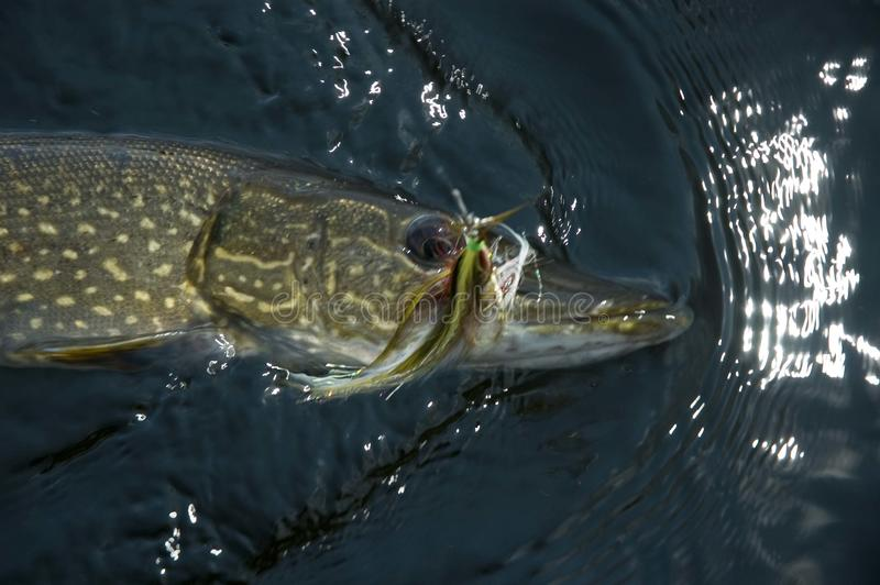 Download Northern Pike stock image. Image of fish, caught, catch - 11115385