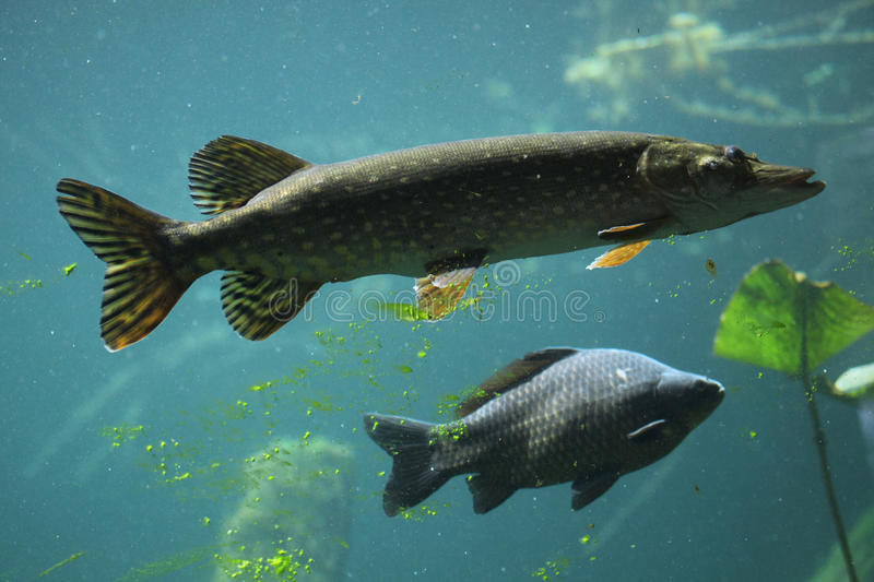 Northern pike (Esox lucius) and common carp (Cyprinus carpio). Northern pike (Esox lucius) and wild common carp (Cyprinus carpio). Wildlife animal stock image