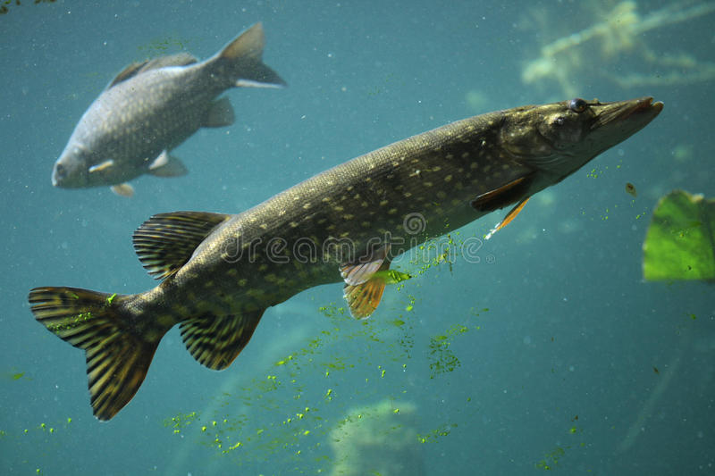 Northern pike (Esox lucius) and common carp (Cyprinus carpio). Northern pike (Esox lucius) and wild common carp (Cyprinus carpio). Wildlife animal royalty free stock image