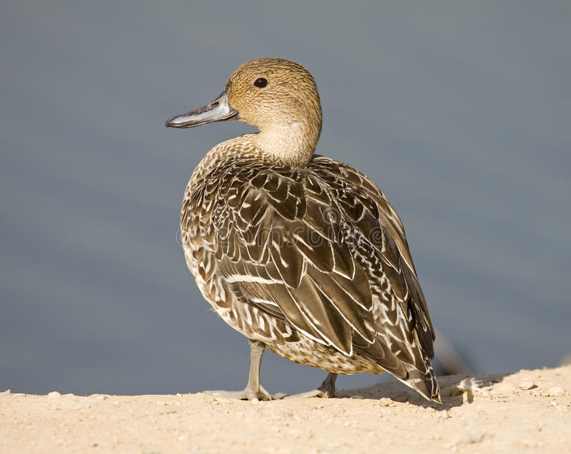 Northern Pintail stock images