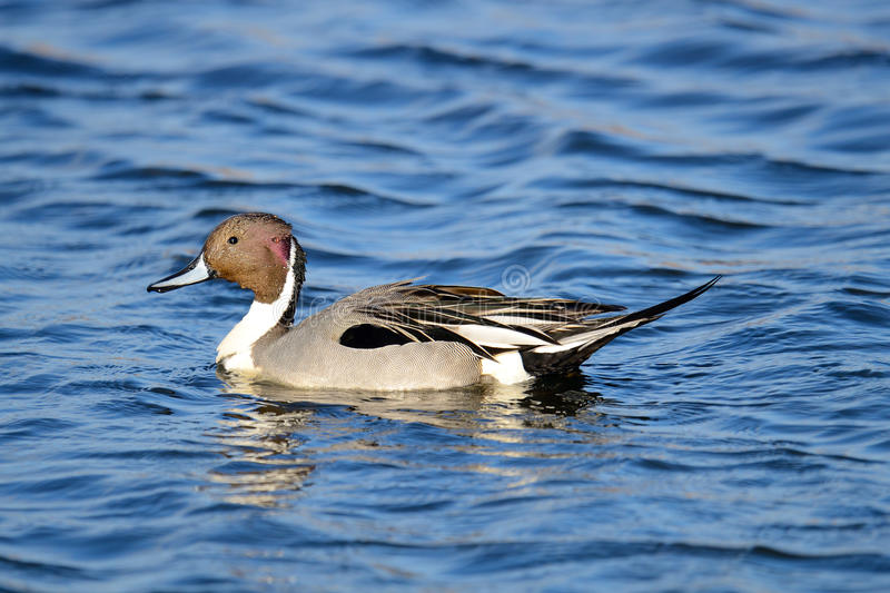 Download Northern Pintail stock image. Image of water, anas, acuta - 20445255
