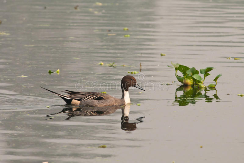 Download Northern Pintail stock photo. Image of outdoor, feather - 23187028