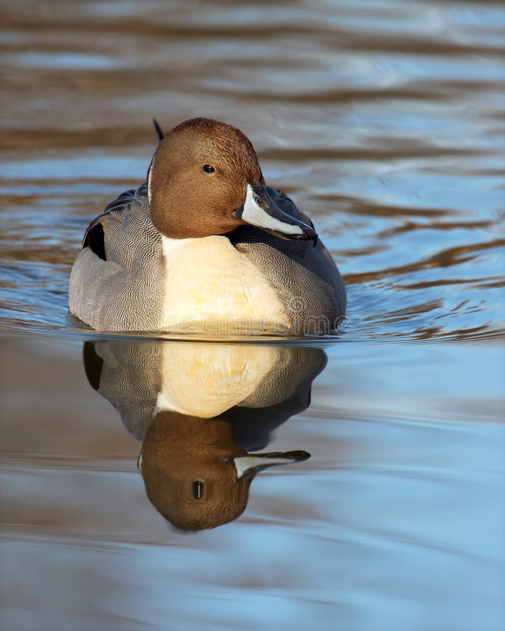 Northern Pintail. Male Northern Pintail duck swimming towards the viewer with nice reflection stock images