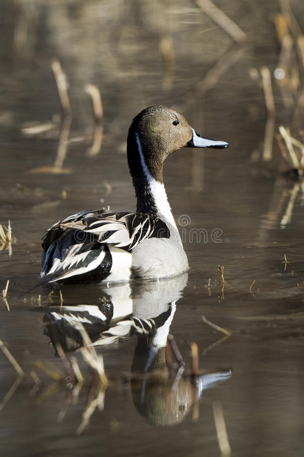 Northern Pintail, Anas acuta. Profile portrait of a male Northern Pintail Duck in breeding plumage, with reflection stock images