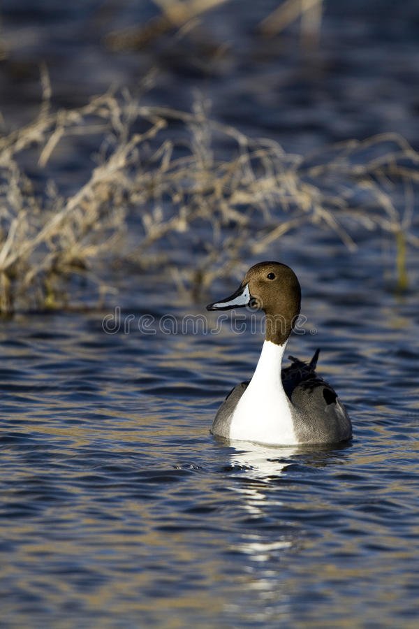 Download Northern Pintail, Anas Acuta Royalty Free Stock Images - Image: 18663669