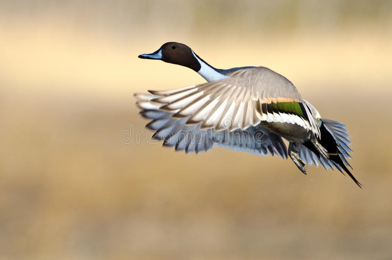 Northern Pintail ( Anas acuta) stock photography