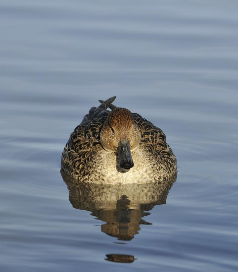 Northern Pintail royalty free stock image