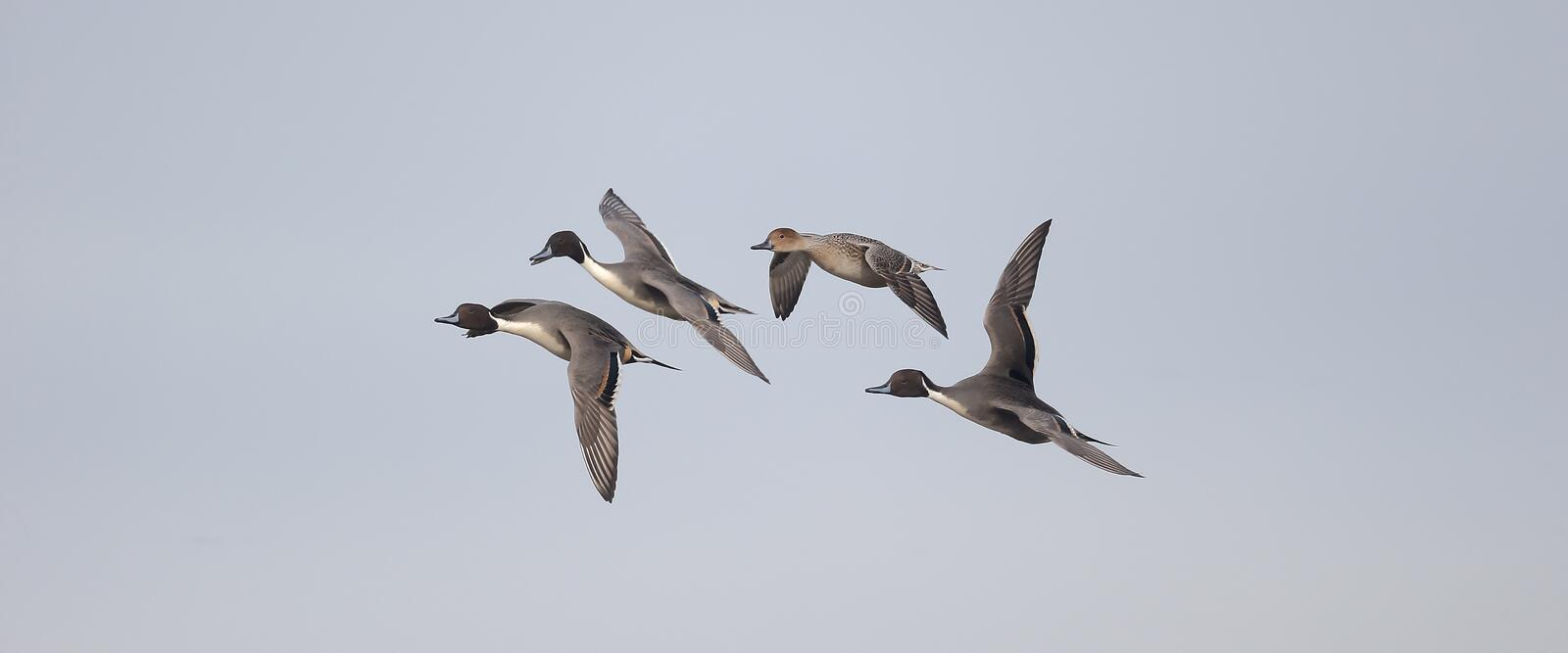 Northern pintail, Anas acuta. Group in flight, Gloucestershire, November 2014 stock photography