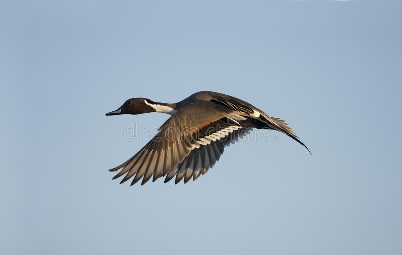 Northern pintail, Anas acuta. Male in flight royalty free stock image