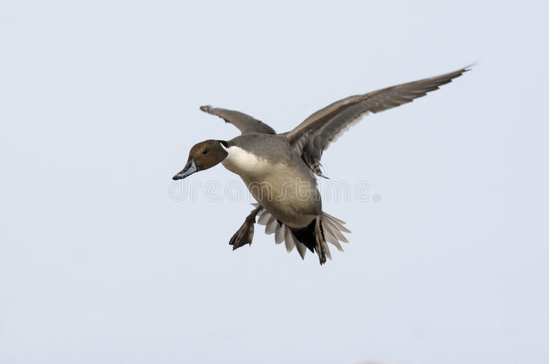 Northern pintail, Anas acuta. Male in flight stock photos