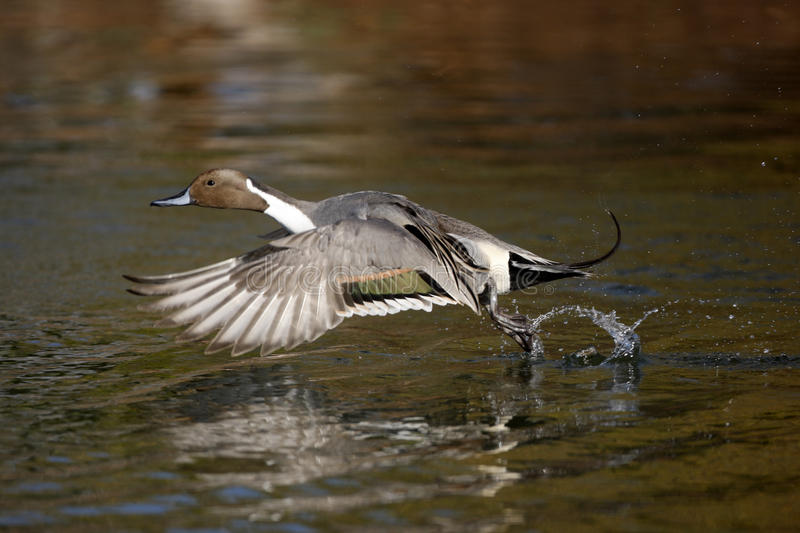 Northern pintail, Anas acuta. Male flight stock photography