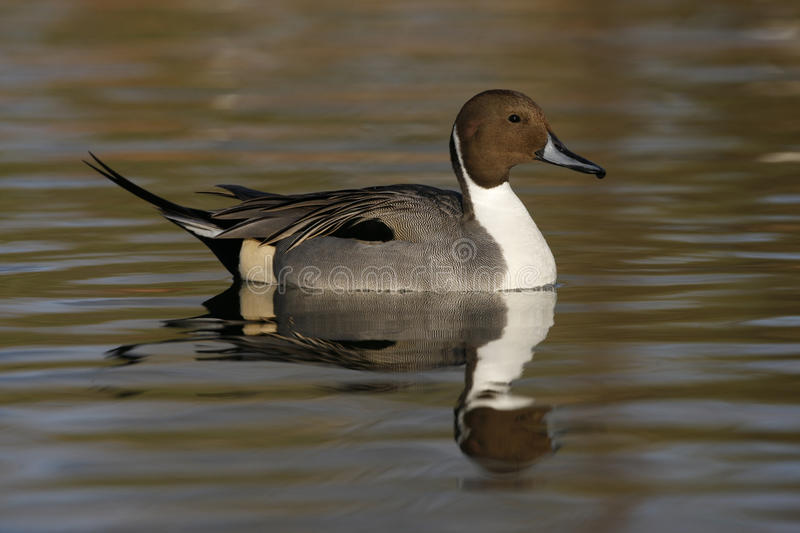 Northern pintail, Anas acuta. Male on water stock photo