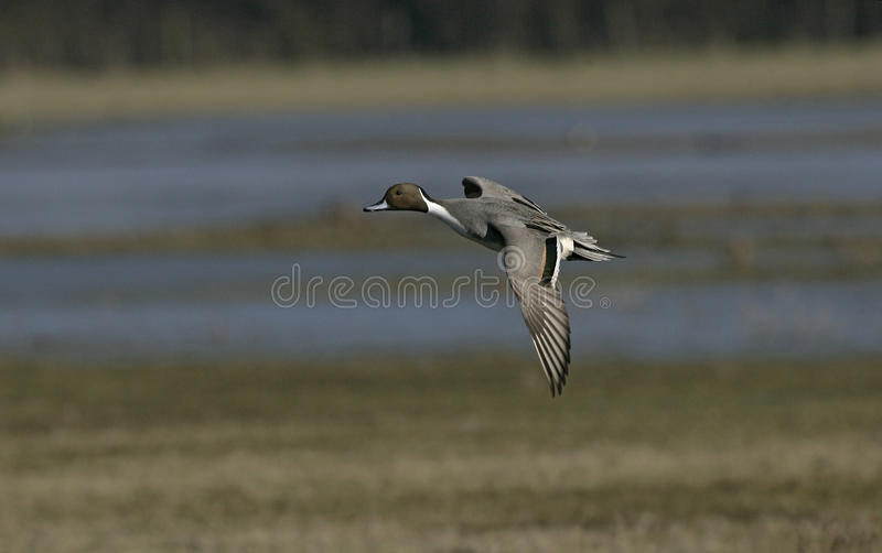 Northern pintail, Anas acuta. Single male in flight, Japan stock images
