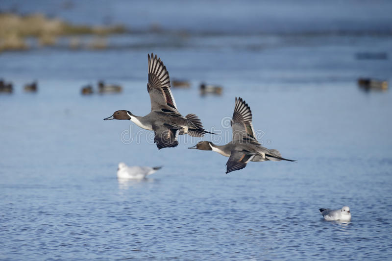 Northern pintail, Anas acuta. Two males in flight, Gloucestershire, January 2015 stock images