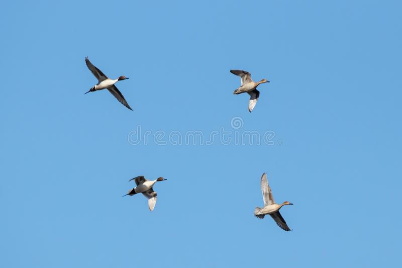 Northern pintail Anas acuta two pairs in flight. Under blue sky. Beautiful elegant ducks. Birds in wildlife royalty free stock photo