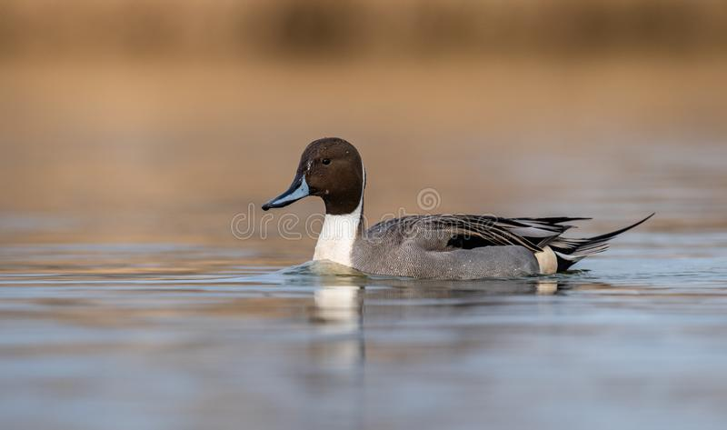 Northern Pintail in Canada. A Northern Pintail in Canada stock photos