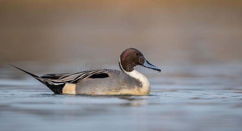 Northern Pintail in Canada. A Northern Pintail in Canada stock image