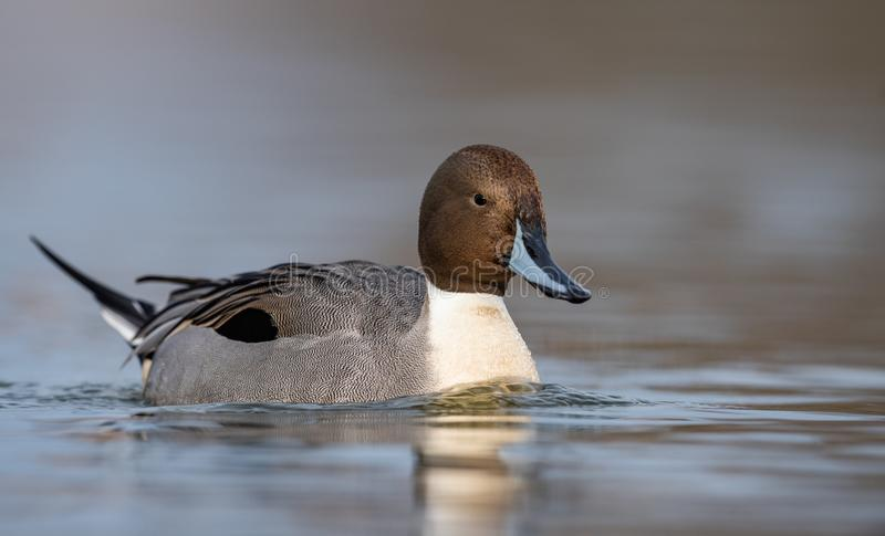 Northern Pintail in Canada. A Northern Pintail in Canada stock photo