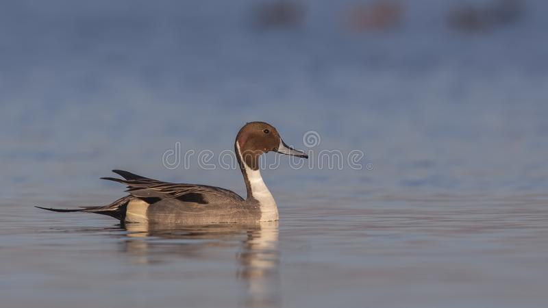 Northern Pintail On Clean Sea. Male northern pintail Anas acutaon is swimming right on clear blue sea stock photography