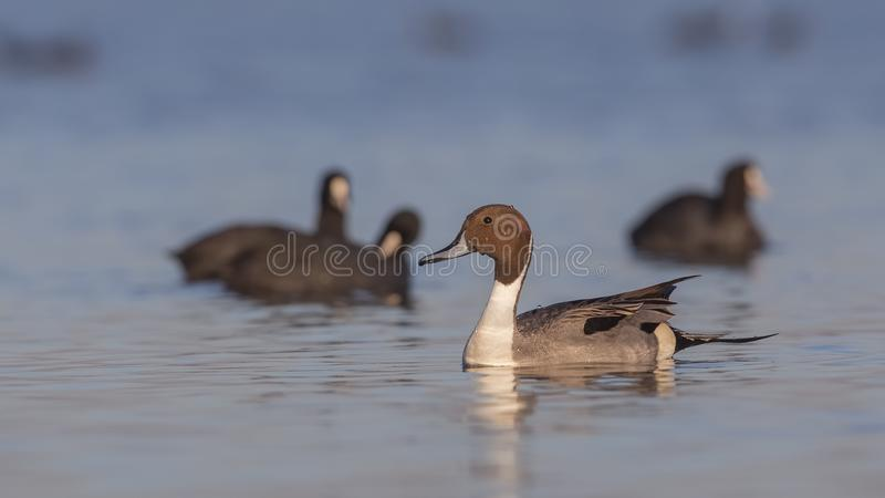 Northern Pintail Among Common coots. Male northern pintail Anas acutaon is swimming among common coots on clear blue sea stock photos