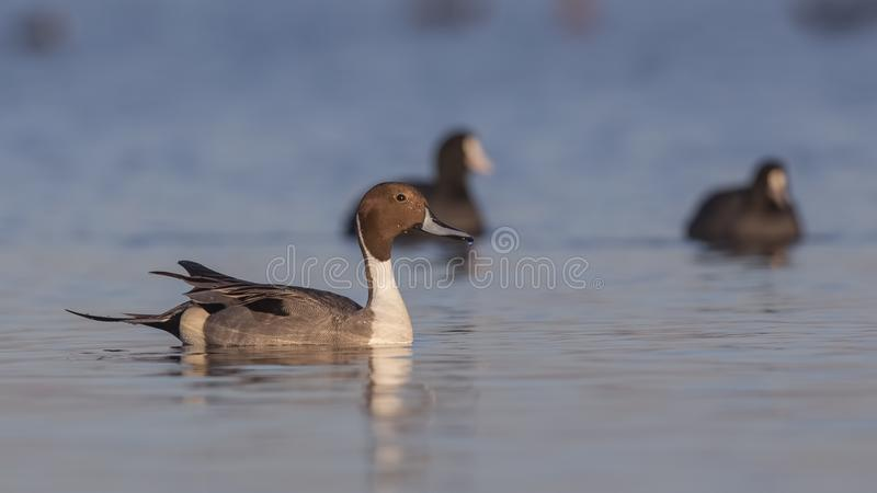 Northern Pintail Among Common Coots. Male northern pintail Anas acutaon is swimming among common coots looking right on clear blue sea stock image