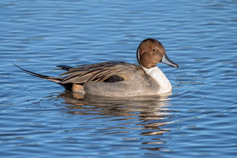 Northern Pintail Drake - Anas acuta on a winters day resting on water. Drake or male Northern Pintail Duck - Aythya acuta with excellent feather detail on a royalty free stock images