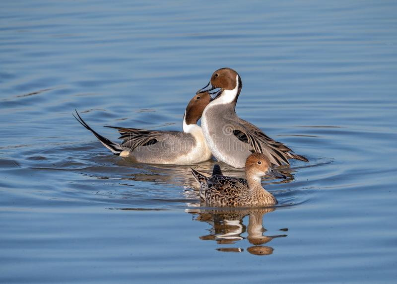 Northern Pintail Drakes - Anas acuta fighting over a female. Drake or male Northern Pintail Ducks - Aythya acuta with excellent feather detail, fighting over a royalty free stock photography