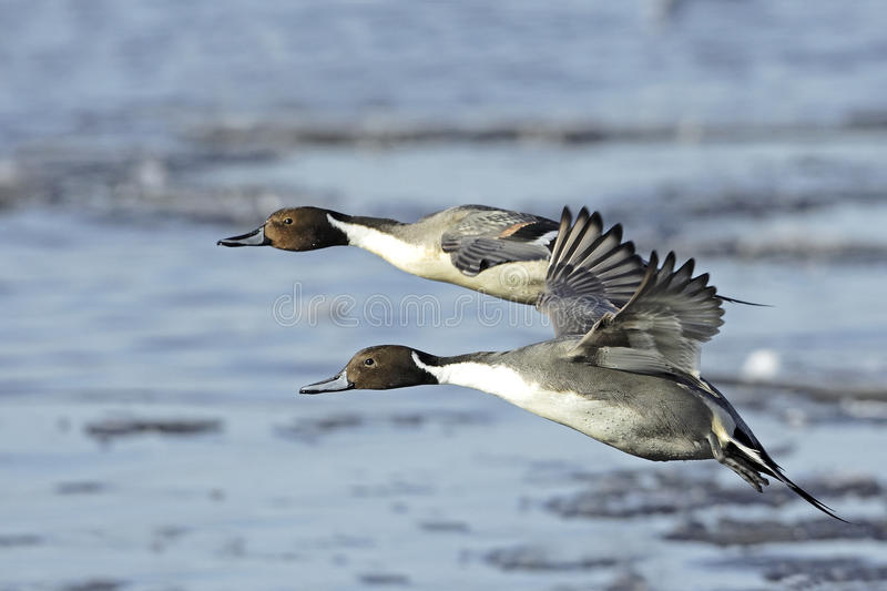 Northern Pintail Drakes(Anas acuta) in flight. A pair of Northern Pintail Drakes (Anas acuta) in breeding plumage, in flight across a frozen lake in Northern royalty free stock photo