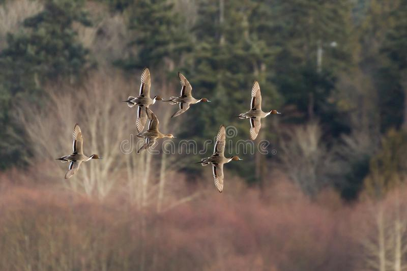 Flying Northern Pintail. Flying group Northern Pintail duck royalty free stock images