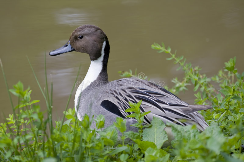 Northern Pintail Duck stock photo