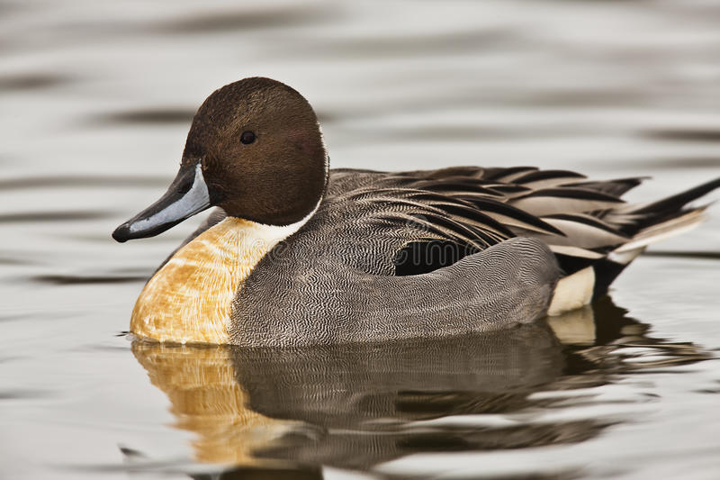 Northern Pintail duck - Anas acuta. Close up royalty free stock photos