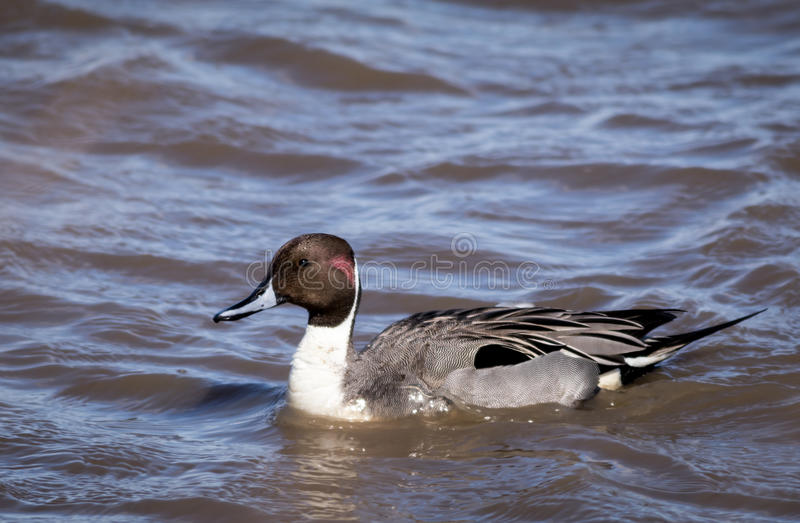Northern Pintail Duck Anas Acuta Male portrait stock image
