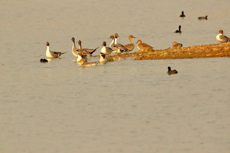 Northern pintail duck royalty free stock image