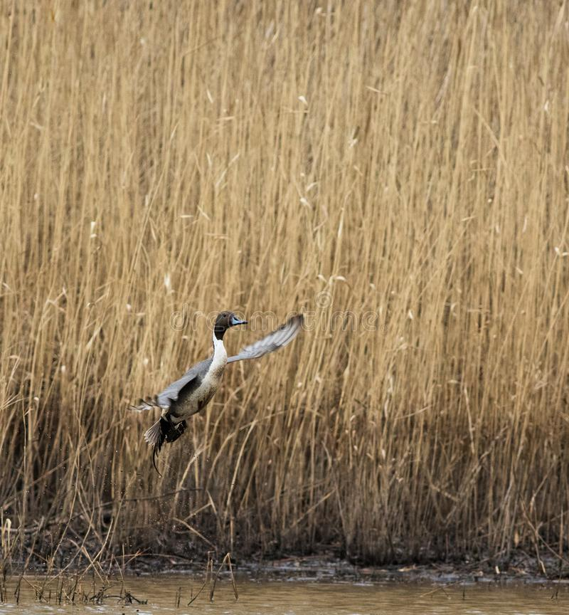 A Northern Pintail duck takes flight stock photo