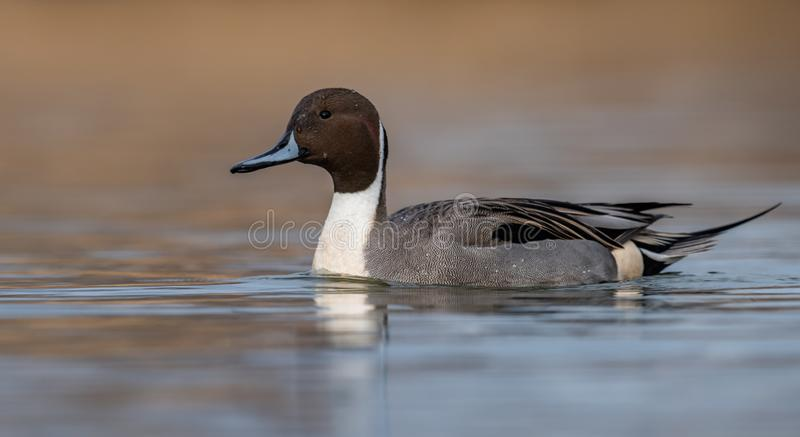 Northern Pintail in Canada. Northern Pintail Duck Portrait in Canada royalty free stock photo