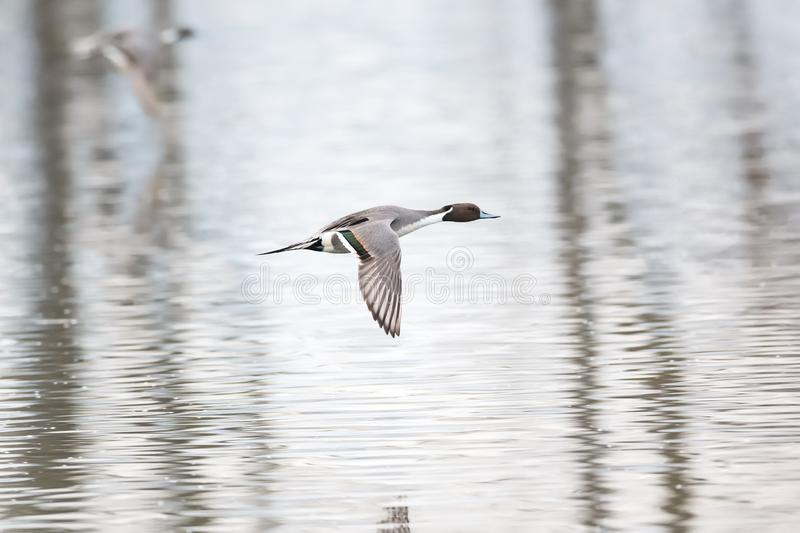 Northern pintail duck. In Vancouver BC Canada royalty free stock photos