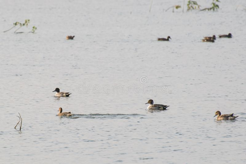Northern Pintail Ducks Anas acuta swimming in a lake. They are winter visitors in this region stock photos